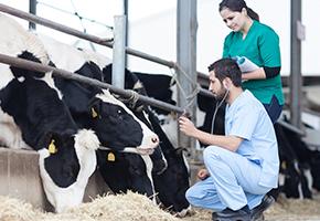 Как молочная ферма увеличила производство молока на 18% с помощью технологии IoT и машинного обучения
